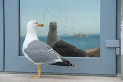 Seagull in front off mirror. Seagull is standing in front of reflected image off him self, with sea in the background Royalty Free Stock Photography