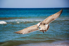 Seagull front of the sea Royalty Free Stock Photo