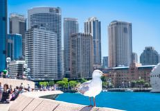 Seagull in front of Sydney harbor city. Australia. stock images
