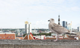 Seagull in front of Tallinn panorama Royalty Free Stock Photo