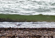 A seagull in front of a wave stock photo