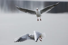 Seagull on frozen lake Stock Images