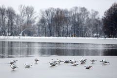 Seagull on frozen lake Stock Photos