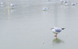 Seagull on frozen pond Royalty Free Stock Images
