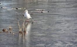 Seagull on frozen village pond, Frampton on Severn, Cotswolds, Gloucestershire, stock photos