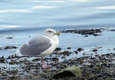 Seagull at Fulford Harbour at low tide. Seagull standing on the rocky shoreline at low tide at Fulford Harbour, Salt Spring Island, British Columbia . BC gull Stock Photos