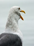 Seagull With Funny Expression. A California Seagull with a look of surprise or shock Royalty Free Stock Image