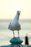 Seagull with funny pose and expression sitting watching Royalty Free Stock Images