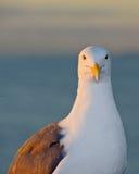 Seagull gapi się przy tobą Fotografia Royalty Free