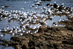 Seagull gathering Royalty Free Stock Photography
