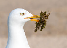 Seagull gathering moss. Stock Photo