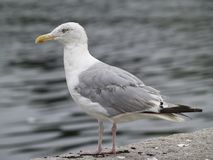 Seagull Gazing Out To The Sea 2 Stock Image