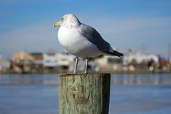 Seagull Gazing Royalty Free Stock Photo