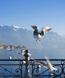 Seagull on Geneva lake. In Vevey costline on Geneva lake Royalty Free Stock Photos