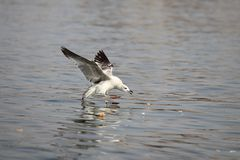 A seagull get his food Royalty Free Stock Image