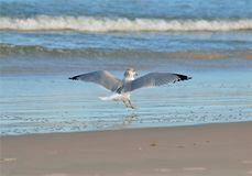 Seagull Landing on the Beach stock photography