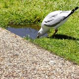 Seagull, Gladstone Queensland, summer heat Royalty Free Stock Photo