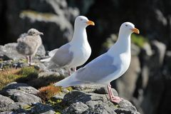 Seagull - Glaucous Gull (Larus hyperboreus) with Stock Photos