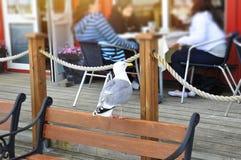 Seagull - Glaucous Gull (Larus hyperboreus). Stock Images
