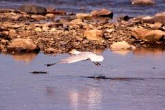 Seagull Glide. Seagull gliding over the ocean Stock Photo