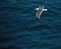 Seagull Glides above the Water at La Jolla, California Royalty Free Stock Photos