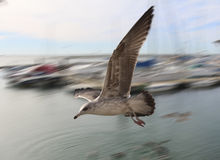 The seagull glides Stock Image