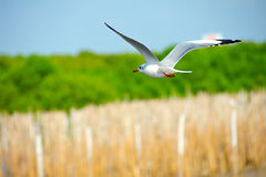 Seagull gliding Stock Image