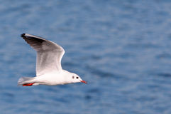 Seagull gliding Royalty Free Stock Image