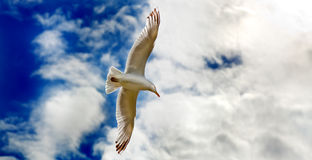 Seagull gliding in flight close up Stock Image