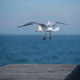 Seagull gliding. Seagull is hovering on horizon over coast Royalty Free Stock Images