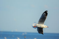 Seagull is  gliding over the sea. Royalty Free Stock Images