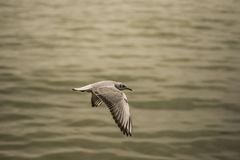 Seagull gliding 4. A photo of a seagull gliding Royalty Free Stock Photography