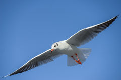 Seagull gliding. Seagull with spread wings, gliding in a blue sky Stock Images