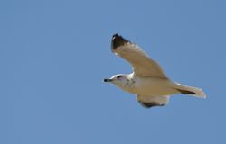 Seagull gliding threw the air. A seagull in the blue sky royalty free stock photography