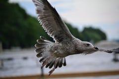 Seagull gmerania jeziorny patrzeć dla jedzenia Zdjęcia Stock