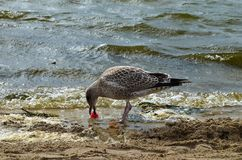 Seagull gmeranie dla jedzenia na dennym brzeg obrazy stock