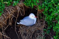 Seagull gniazdeczko Obrazy Royalty Free