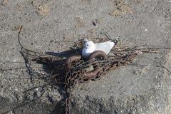 Seagull Gniazduje łańcuchami Fotografia Royalty Free