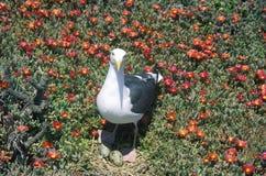 Seagull gniazduje z jajkami, Anacapa, channel islands park narodowy, CA Fotografia Stock