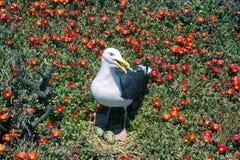 Seagull gniazduje z jajkami, Anacapa, channel islands park narodowy, CA Zdjęcie Royalty Free