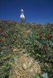 Seagull gniazduje z jajkami, Anacapa, channel islands park narodowy, CA Obraz Royalty Free