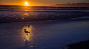 Seagull in the gold reflex of the passing water. royalty free stock images