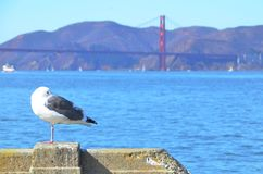 Seagull with Golden Gate Bridge and San Francisco in the background. A large seagull standing on a pier on the San Francisco Bay with the red Golden Gate Bridge Stock Images