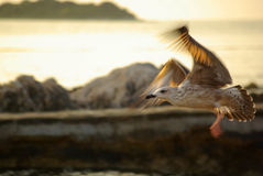 Seagull in golden sunlight. Flying seagull at sunset in movement motion Royalty Free Stock Photo