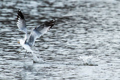 Seagull grabbing some bread from the water Stock Image