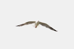 Seagull gracefully flying in the sky isolated. Seagull flying in the sky symbol of freedom isolated Stock Image