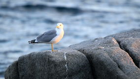 Seagull gracefully poses for a photo stock footage