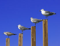 Seagull Graph. Seagulls in a line appearing like a graph or the network range strength/range of cellphone Royalty Free Stock Images