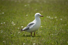 Seagull. A Seagull on the grass Royalty Free Stock Photography
