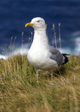 Seagull in the grass on a cliff, UK Royalty Free Stock Photos
